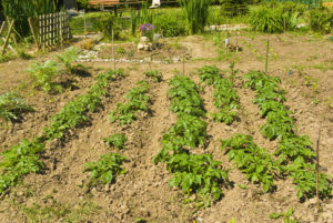 Community garden at Opitciwan