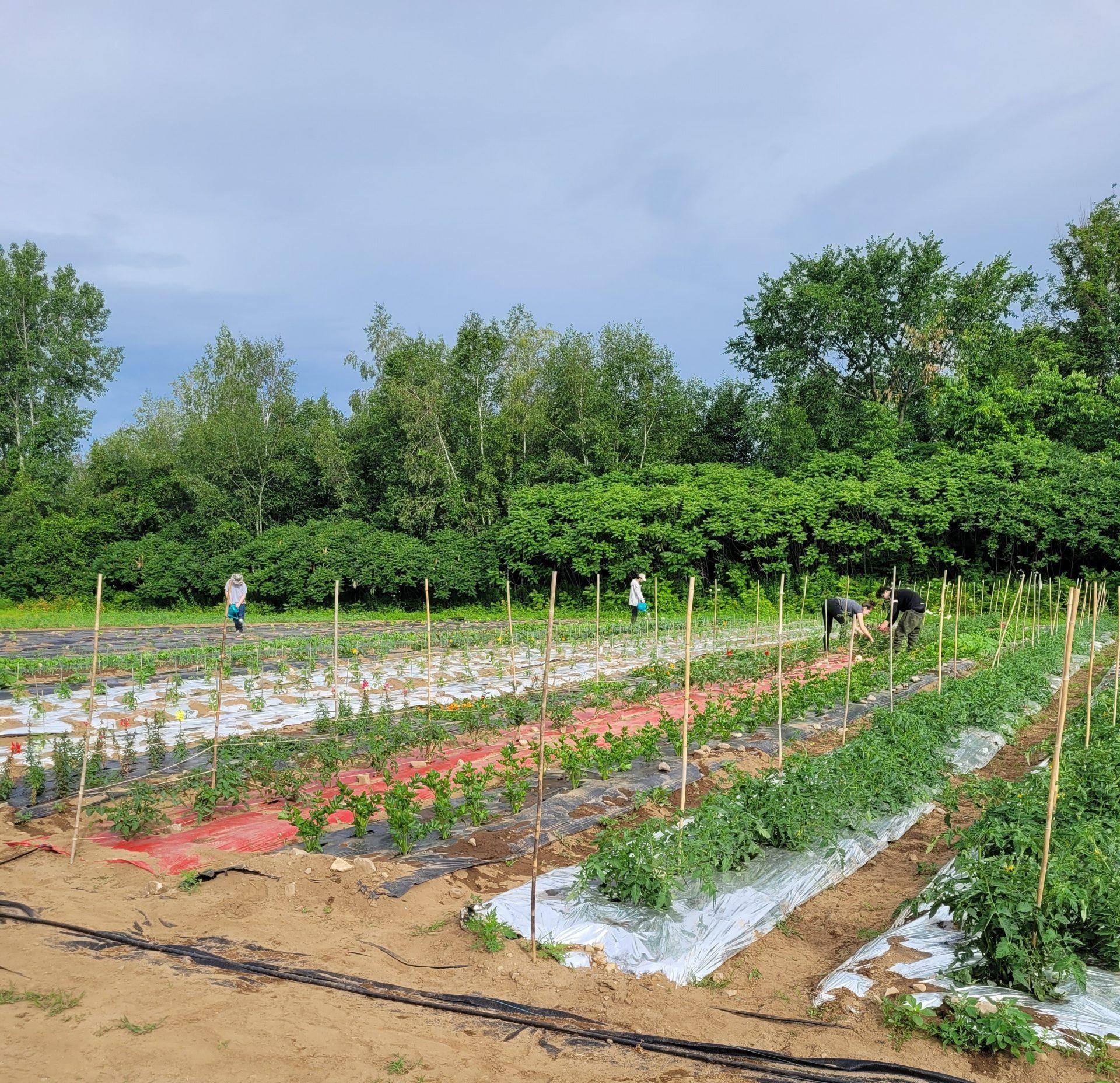 L'éco-agriculture en serre et en terre à kanesatake
